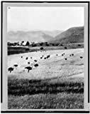 1910 Photo Africa--Cape of Good Hope, ostrich farm Location: Cape of Good Hope, South Africa