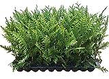 Thuja Green Giant Arborvitae - 10 Live Trees 2' Pot Size - Evergreen Privacy Plants