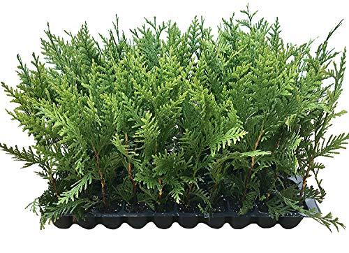 Thuja Green Giant Arborvitae - 5 Live Trees 2
