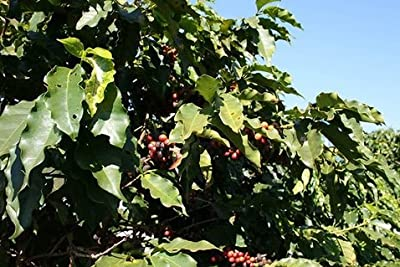 5LBS Brazil Decaf Unroasted Green Coffee Beans from Bodhi Leaf Trading Company