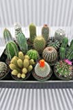 Cactus Assortment (Grower's Select)