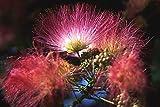 25 MIMOSA TREE EH WILSON Hummingbird Pink Flower Albizia Julibrissin Rosea Seeds