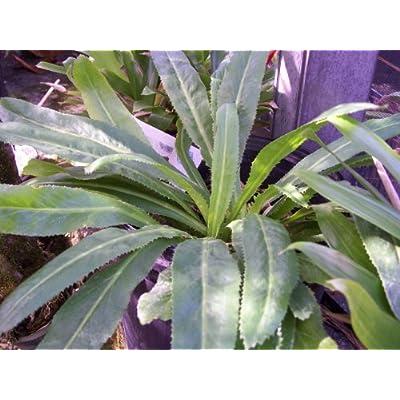 HOME-OUTDOOR Recao, Culantro, Cilantro ancho, Mexican Coriander (Eryngium foetidum) Herb. 200+ Qty Seeds Pack Garden, Lawn, Supply, Maintenance : Garden & Outdoor