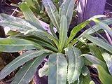 Recao, Culantro, Cilantro ancho, Mexican coriander (Eryngium foetidum) Herb. 200+ Qty Seeds Pack