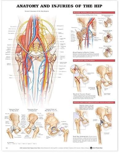 Diagram Of The Hip Area - Custom Wiring Diagram •