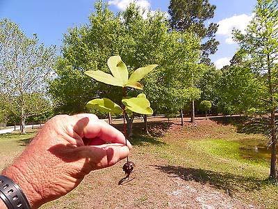 (Tree Laurel Oak (Quercus Laurifolia) 6 Rooted Seedlings Guaranteed Live Fresh)