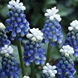 MUSCARI AUCHERI MOUNT HOOD,Award winning,deer- and rodent-resistant Muscari
