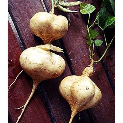 AchmadAnam - 10 Seeds - Jicama Yam Bean Pachyrhizus erosus. E11 : Garden & Outdoor