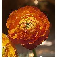200 PCS semillas de flores ranúnculo colorete para las plantas del jardín de flores ranúnculo persa casa