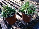 Dwarf Mondo Grass, short grass, filtered light, 24 containers, 400+ bibs