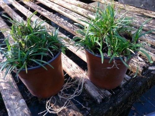 Dwarf Mondo Grass, short grass, filtered light, 24 containers, 400+ bibs by sanjoes