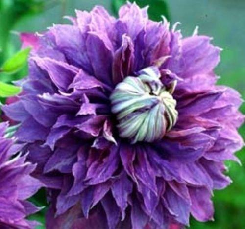 CLEMATIS 'DIAMANTINA'. Perennial. Plant. Vine.