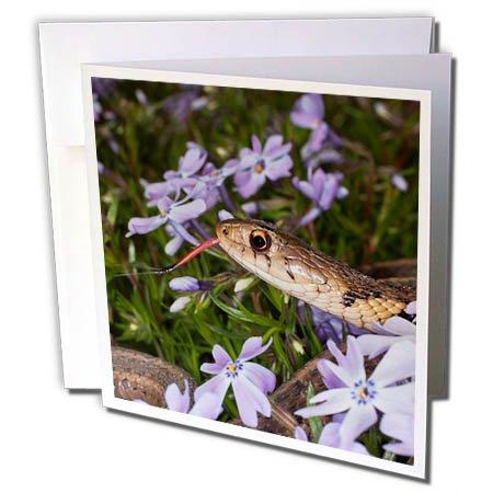 3dRose Danita Delimont - Snakes - Eastern Garter Snake in creeping phlox, Kentucky - 12 Greeting Cards with envelopes (gc_259354_2) (Creeping Phlox)