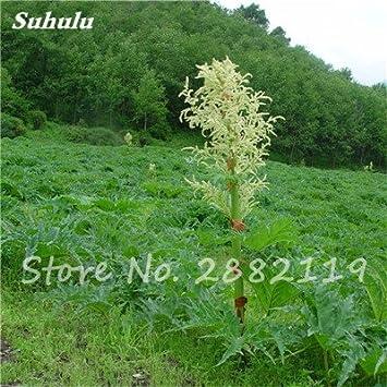 Ruibarbo chino semillas no OGM Medicina vegetal dulce Bonsai de ...