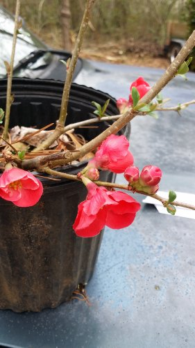 RED Flowering Quince, gorgeous red blooms all over the plant in spring, One of 1st to Flower in Spring, Hydrangeas Shrub, Evergreens, Gardenia - Flowering Quince Fruit