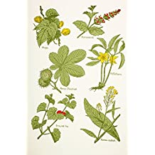 Medicinal Herbs And Plants. Clockwise From Top Left: Hops, Horsemint, Hellebore, Horse Radish, Ground Ivy, Horse Chestnut. From Virtue's Household Physician, Published London 1924. Poster Print (24 x 36)
