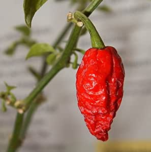 Bhut Jolokia / Ghost Pepper Seeds (Pack of 10)