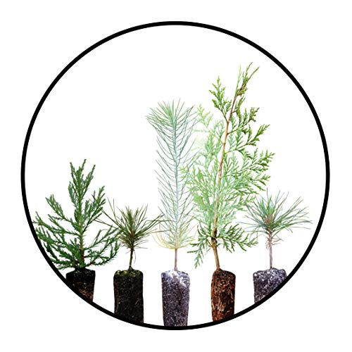 Conifers of The Sierra Nevada | Collection of 5 Live Tree Seedlings | The Jonsteen Company
