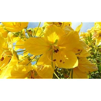 Golden Medallion Tree-Cassia Leptophylla-10+ Seeds : Tree Plants : Garden & Outdoor