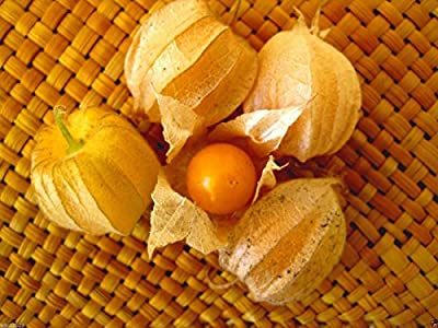 Giant Poha Berry, Cape Gooseberry (Physalis Peruviana) 500 Seeds, Ground Cherry