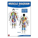 Male Muscle Diagram Poster