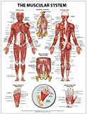 The Muscular System Wall Chart - Paper, Inc. Shop Anatomical, 1942605005