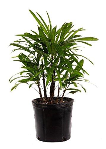AMERICAN PLANT EXCHANGE Lady Palm
