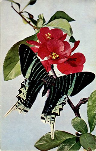 Tropical Moth Other Animals Original Vintage Postcard from CardCow Vintage Postcards