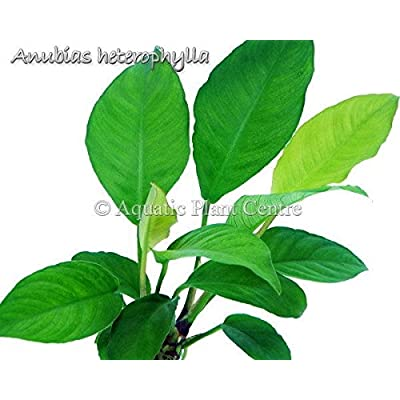 Anubias Heterophylla (Congo) Easy Potted Live Aquarium Plants for Freshwater Fish Tank by Exotic Plant P255Buy 2 GET 1 FREE: Garden & Outdoor