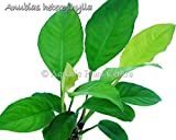 Anubias Heterophylla (Congo) Easy Potted Live Aquarium Plants for Freshwater Fish Tank by Exotic Plant P255Buy 2 GET 1 FREE