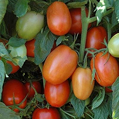 Plum Regal F1 Tomato Seeds (100 Seeds) : Garden & Outdoor