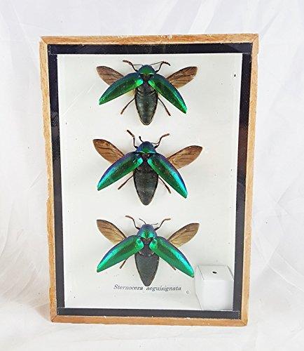 [Real Jewel Beetle Elytra Green Sternocera Aequ Natural Taxidermy Specimen Clear 3 Bug] (Beetle Wings Costume)