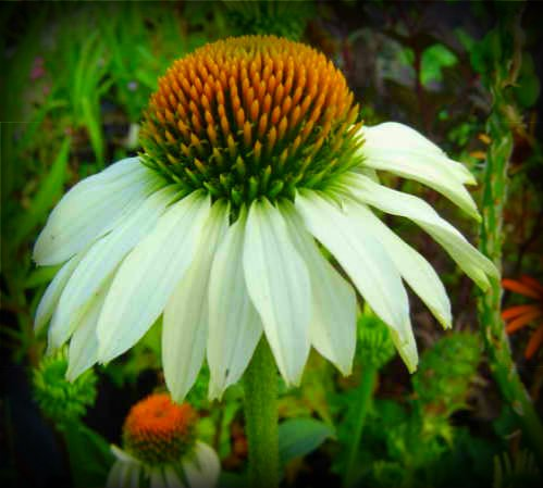 50 White Swan Coneflower (Black Swan Treasure)
