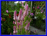 Light Pink Candlestick Celosia 25+ Seeds - Comb S/H See Our Store!