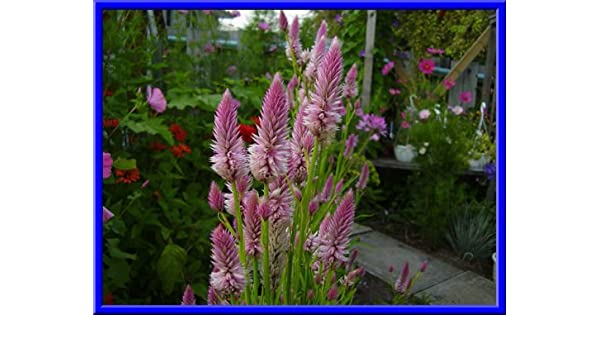Seeds Light Pink Candlestick Celosia 25 Comb S//H  See our store!