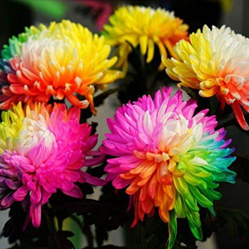 1 Bag 20 Pcs Rainbow Chrysanthemum Seeds-Easy Grow Ungewohnliche Colorful Miniature Tree Flower Planting Seeds Blumen Garden Decor
