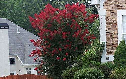 Dynamite Red Crapemyrtle Tree - Live Plants Shipped in Quart Containers (No California)
