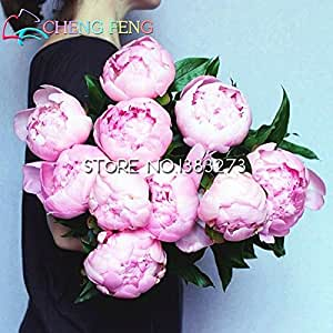 2016 Chinese Tree Peony Seeds 5 Pcs Home Peony Flower Seeds Rare Flores Plants Perennial Flowers Bulbs Seed Indoor Bonsai Plant