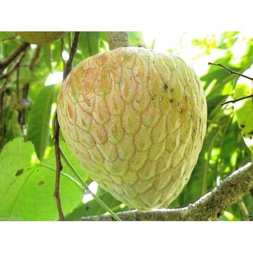 Wholesale Jamaican Custard Apple Tree (10 Seeds) AKA bullock's Heart,Jamaican Apple ! hot sale