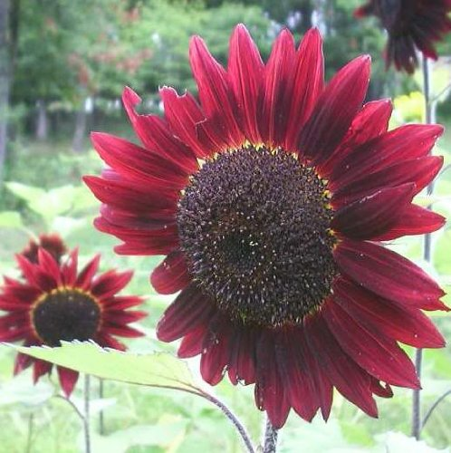 Velvet Queen Sunflower 50+ Seeds (Sunflower Seed Flower compare prices)