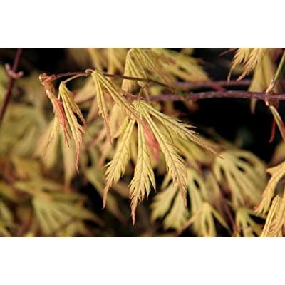 Ghost Dancer Japanese Maple 2 - Year Graft: Toys & Games