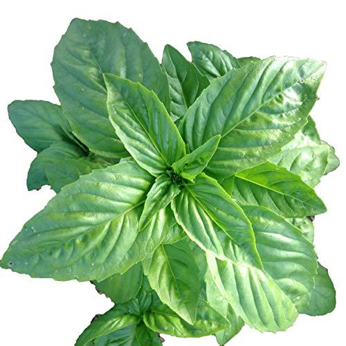 s, 1000 Seeds, Organic Genovese Sweet Basil ()