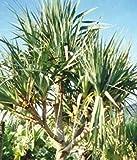 Plentree Seeds Package: 5 Seeds of Screw Pine 1A005 (nus Utilis)