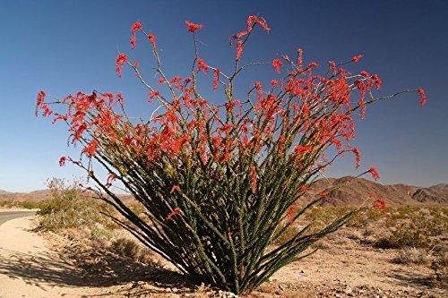 Ocotillo cutting, Exotic, Fouquieria splendens Palo Adan Slimwood Desert Cactus