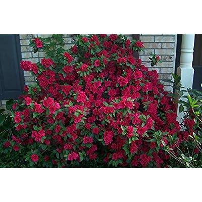 Red Ruffles Azalea - 3 Live Plants in 6 Inch Pots - Azalea Red Ruffles Rhododendron - Flowering Evergreen Shrub : Garden & Outdoor