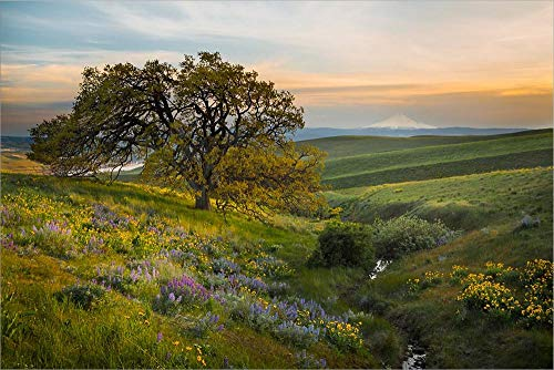 an Oak Tree at Columbia Hills State Park by Gary Luhm/Danita Delimont Laminated Art Print, 20 x 13 inches