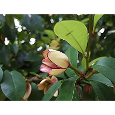 Banana Shrub, Michelia Figo (Magnolia Figo), Shrub Seeds (Fragrant) 10 Seeds : Garden & Outdoor