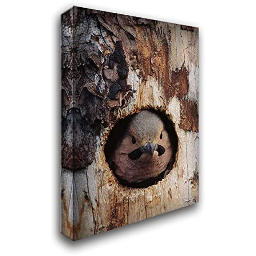 Northern Flicker Woodpecker in nest Cavity, Slana, Alaska 28x40 Gallery Wrapped Stretched Canvas Art by Quinton, Michael ()