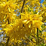 Cottage Hill Forsythia 'Lynwood Gold' - 2 Piece Live Plant Blooms