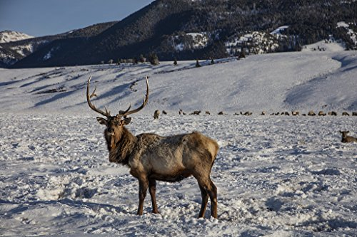 24 x 36 Giclee Print of A Handsome Specimen at The U.S. Fish & Wildlife Service's elk Refuge in Jackson Hole Wyoming a Valley on The Edge of Grand Teton National Park r40 42407 by Highsmith, Carol